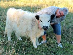 Miniature White Galloways- I want one