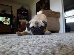 Little pug says: Playtime!