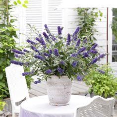 Dwarf Patio Buddleia 'Blue Chip' 3 x Pots Garden Shrubs, Patio Plants, Garden Pots, Dwarf Plants, Hardy Plants, Seaside Garden, Blue Garden, Butterfly Bush