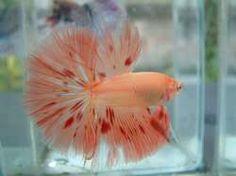 "Betta Fish Colors and Patterns   ""orange dalmation"""