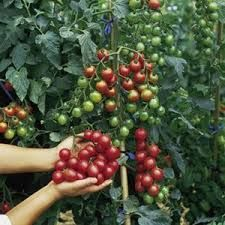 mini tomato seeds Virgin fruit seeds natural organic vegetable seeds New varieties plant for spring farm High germination Growing Tomatoes Indoors, Growing Tomatoes From Seed, Growing Tomato Plants, Growing Grapes, Grow Tomatoes, Organic Vegetable Seeds, Organic Vegetables, Fruit Seeds, Tomato Seeds