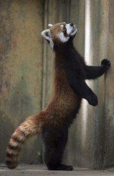 A lesser or red panda