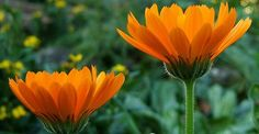 Calendula is a versatile botanical that can be incorporated into DIY body care products, tinctures, teas, and culinary adventures, or used as a dye. Learn how to make a simple calendula-infused herbal oil as a base for your next project. Healing Herbs, Medicinal Plants, Calendula, Shea Butter Lip Balm, Body Butter, Orange Plant, Mountain Rose Herbs, Herbal Oil, Annual Flowers