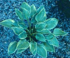 Bob Solberg's Hosta Gardening Tips  Some very interesting information about Hostas.