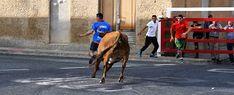 Santacara: Vacas de Pedro Domínguez (Santacara Año 2019)