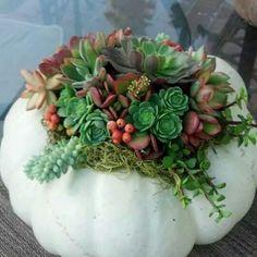 Succulents in Christmas arrangement