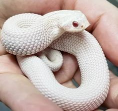13 Incredible Hognose Snake Morphs (With Pictures)