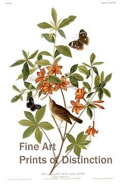 Brown Headed Worm Eating Warbler Fine Art Bird Print by John James Audubon