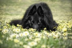 Belgian Shepherd Groenendael laying down in daisies.jpg?    Isn't Wolfcub such a sweet boy!!!