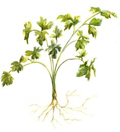 Flat Italian Leaf Parsley anyone? Freshen up your walls with herb artwork...
