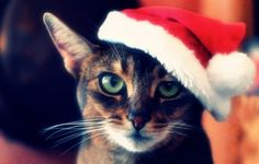 Wallpaper cat, tabby, face, hat, christmas, red