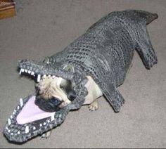 Pugs + Crocodile = Pug-codile