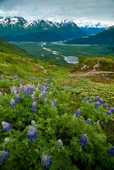 wildflowers, Kenai Fjords National Park, Alaska