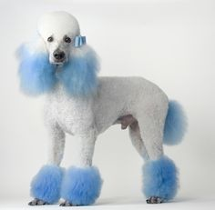 Blue & White Poodle