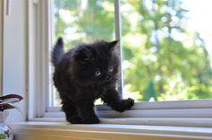 black kitten in window