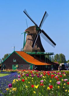 Windmill and colorful tulips