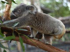 Koalas, en riesgo ante epidemias de clamidia