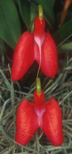 Masdevallia deformis. Se encuentra en Perú y Ecuador en alturas de 1700-2800 metros.
