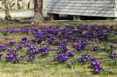 MARCH 23, 2012 Early Spring Around My Farm | This patch of violet crocus naturalizing on the lawn has put on quite a display this year - so thick and lush!