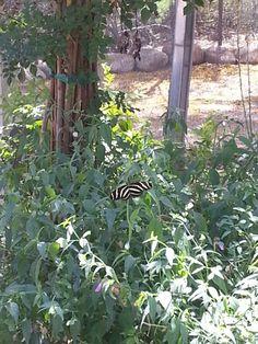 Butterfly exhibition Desert Botanical Garden Phoenix, Botanical Gardens, Butterfly, Plants, Plant, Butterflies, Planets