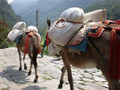 Donkeys poon hill trek, Nepal