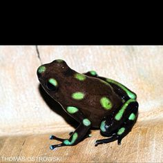 Chilean frog www.dendrobates.org