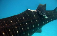 "A whale shark that has been ""finned"" - shark finning is an grotesque practice that is destroying our oceans"