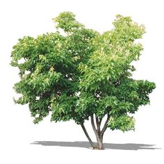 Amur Maple (Acer ginnala).  Amur Maple, non-native popular for its attractive form, fall color, & ability to thrive on harsh, dry sites. Height: 12-20′ spread: 12-20′. A multi-stemmed shrub or small tree with a rounded form.