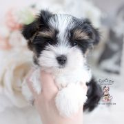 Toy or Teacup Yorkies for sale   Teacup Puppies & Boutique Micro Teacup Yorkie, Teacup Yorkie For Sale, Yorkies For Sale, Yorkie Puppy For Sale, Toy Yorkie, Biewer Yorkie, Wire Fox Terrier Puppies, Toy Yorkshire Terrier, Airline Approved Pet Carrier