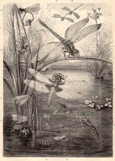 1898 Dragonfly Antique Print Vintage Lithograph by Craftissimo, €13.95