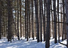 June & December Michigan Roots Story - Winter Pines