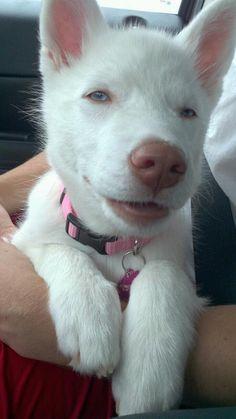 white husky :)