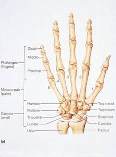 Medical and Health Science: Bones of the Human Hand Hand Bone Anatomy, Anatomy Bones, Human Anatomy And Physiology, Medical Coding, Anatomy Study, Nursing Tips, Medical Field, Nursing Students, Medical Students