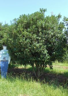 Fruitlands Tea Olive -  small evergreen tree with dense spiny, leathery foliage. Late summer fragrant white flower.