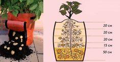 Způsob svislévýsadby brambor je velmi oblíbený u mnoha majitelů malých zahrádek. ');}); // ]]> Tato metoda má velký úspěch, protožes každým vysázením hlízy můžeme vyzvednout celý kbelík brambor! Je potřeba sehnat odrůdu brambor, která je vhodná pro svislé pěstování. Jak pěstovat bram Large Backyard Landscaping, Growing Plants, Indoor Plants, Pesto, Pineapple, Home And Garden, Fruit, Tatoo, Diet