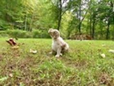 I own #MiniatureAustralianShepherds and they are SOOOO AWESOME! And so cute when they are just babies <3 At 3 1/2 weeks old, these puppies get their first taste of the great outdoors!    Tune in on Saturdays @9pm on Animal Planet | For more visit http://animal.discovery.com/tv/too-cute-kittens/#mkcpgn=ytapl41