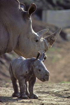 Southern white rhino & calf