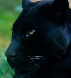 Black Panther energy. Cleanse all that has served us well and all that has taught us best. Bring in the new and the renewal of our power. - LidysGarcia.com  El libro de la selva |  La pantera es un animal que se encuentra en India, el sur de China, Birmania, Indochina, Sumatra y Borneo. En la novela, uno de los personajes principales es Bagheera, una pantera negra que salva la vida de Mowgli y le enseña a sobrevivir en la selva.