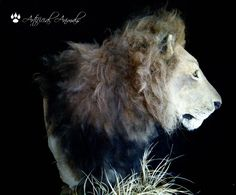Lion replica Fauna, Taxidermy, Mammals, Panther, Lion, Animals, Leo, Lions, Panthers