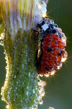 Ladybug, cloaked in dew.