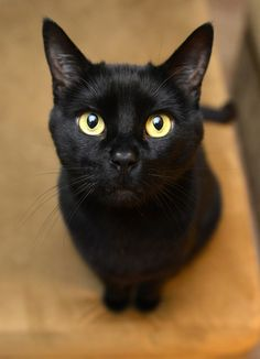 Bombay by Josh Norem, via 500px  Reminds me of our former stray, Squirt, now in a new loving home!  :) [oh I love black cats ♥]