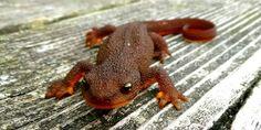 Rough-Skinned Newt.