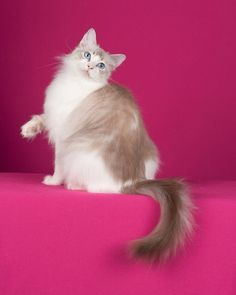 Cute Ragdoll Cat