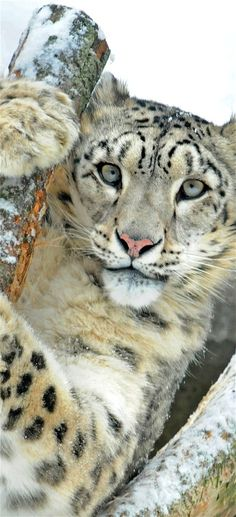 """Snow Leopard ~ Central and South Asia ~ Miks' Pics """"Animals lV"""" board @ http://www.pinterest.com/msmgish/animals-lv/"""