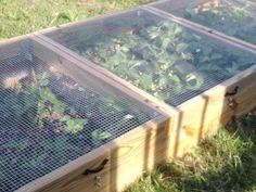 Strawberry boxes - hinged lids covered with hardware cloth let pollinators in and keep bunnies et al out.