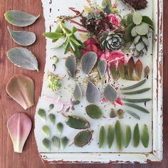 Compañía Botánica Propagating Succulents, Succulent Gardening, Planting Succulents, Container Gardening, Planting Flowers, Inside Garden, Inside Plants, Trees To Plant, Plant Leaves