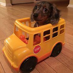 https://www.facebook.com/pages/Mi-perro-Salchicha-me-AMA/425990280846978?ref=hl FACEBOOK: Mi perro Salchicha me AMA
