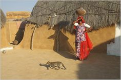 https://flic.kr/p/b9UpZ2 | cat, nimb-ki-dhani jaisalmer | cat crossing across sagu carrying water pot in a small village, deep in the thar desert.   see my favourite RURAL INDIA set    here