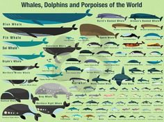 Oopsy Daisy Whales, Dolphins and Porpoises of The World by Daviz Canvas Art Size: Fin Whale, Whale Art, Whale Sharks, Blue Whale, Wale, Marine Biology, Animal Facts, Ocean Creatures, Pisces
