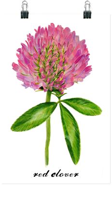 Red Clover Botanical Water Color by Larry Richter. You know how much I love Red Clovers!